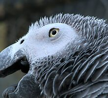 Close up - African Grey by Sharon Perrett
