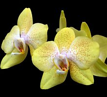 Yellow Orchids Against Black by Kathleen Brant