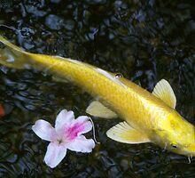 koi with fallen azalea blooms by tserio