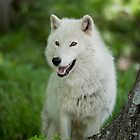 Arctic Wolf - The White Ghost Of The North 5 by WolvesOnly