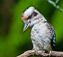 Kookaburra at Sherbrooke Forest III by Tom Newman
