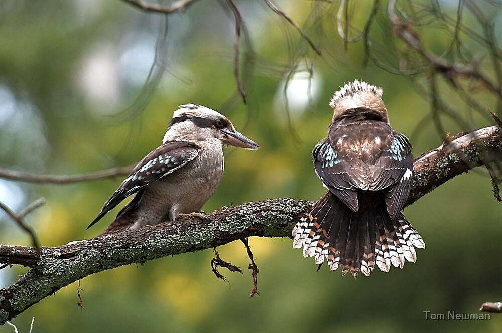 Kookaburras at Sherbrooke Forest by Tom Newman