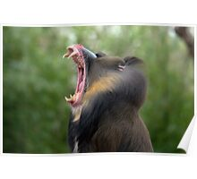 Mandrill at Melbourne Zoo III Poster