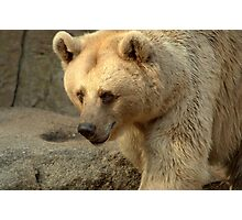 Syrian Brown Bear  V Photographic Print