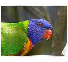 Rainbow  Lorikeet III Poster