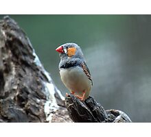 Male Zebra Finch Photographic Print