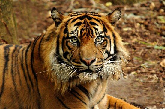 Sumatran Tiger II by Tom Newman