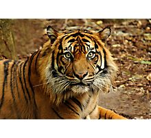 Sumatran Tiger II Photographic Print