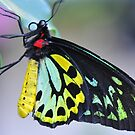 Butterfly Cairns Birdwing III by Tom Newman