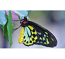 Butterfly Cairns Birdwing III Photographic Print