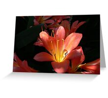 Sunlight Strikes an Orange Clivia Miniata  Greeting Card