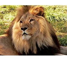 Lion II  Photographic Print