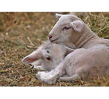 Lamb Snuggle Photographic Print