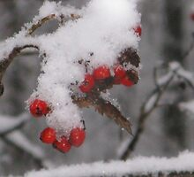 SNOWY ROWAN-BERRIES. by JurmaleP