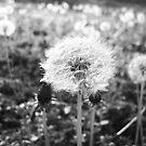 Dandelion by Allison Floyd