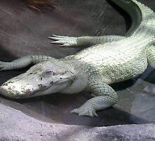 albino aligator by lizjensen