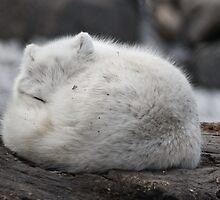 Artic Fox by Geoffrey