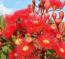 Red Flowering Gum by Catherine Davis