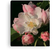 Blossoming Apple Blossom Canvas Print