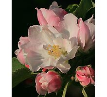 Blossoming Apple Blossom Photographic Print