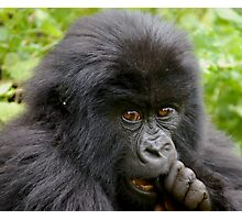 Chewing the Cud Photographic Print