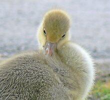 Benni The Graylag Gosling by AARDVARK