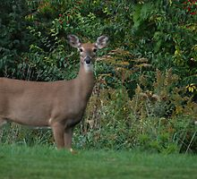 Backyard Deer by Vonnie Murfin