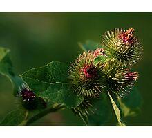 Blooming Burrs (Burdock) Photographic Print