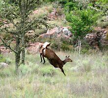 Leaping Bushbuck (Tragelaphus scriptus) by amjaywed