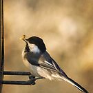 Black Capped Chickadee and Seed by Yannik Hay