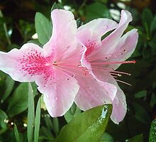 Pink Rhododendron Flowers 2 by Christopher Johnson