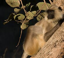 Langur Monkey Relaxes by Steve Bulford