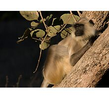 Langur Monkey Relaxes Photographic Print