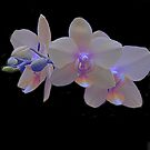Glowing Orchids by Dennis Rubin IPA
