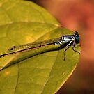 Bluetail at Sunset by Lesley Smitheringale