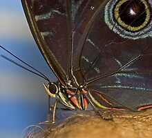 Owl Butterfly Macro by Robyn Carter