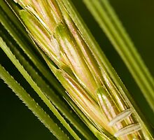Grains of Wheat by Mary  Lane