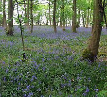 Carpet of Bluebells by Martin Carr