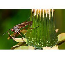 Dandelion fly Photographic Print