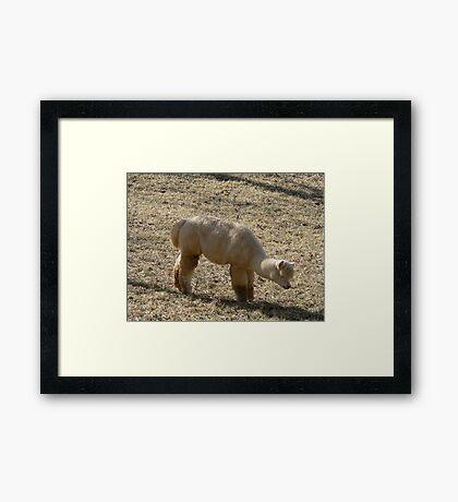 Furry Alpaca Framed Print
