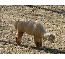 Furry Alpaca Photographic Print
