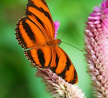 Banded Orange Butterfly I by Larissa Brea