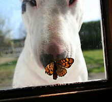The butterfly and the bull terrier by Elodie