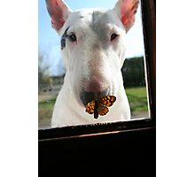 The butterfly and the bull terrier Photographic Print
