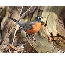 Robins Are Back Photographic Print