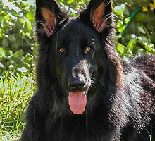 Alsatian German Shepherd black long haired by Lisa Anne McKee