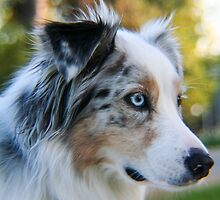 Australian Shepherd Blue Merle by Lisa Anne McKee