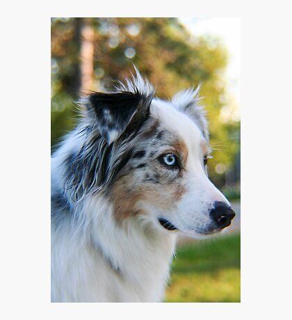 Australian Shepherd Blue Merle Photographic Print