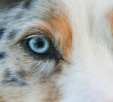 Australian Shepherd Blue Merle Eye by Lisa Anne McKee