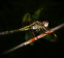 Nocturnal Dragonfly by Lesley Smitheringale